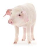 Porco no branco Imagem de Stock