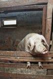 Porco no celeiro Imagens de Stock