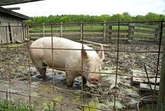 Porco no chiqueiro Fotografia de Stock