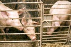 Porco no estábulo Foto de Stock