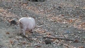 Porco no pasto na floresta video estoque