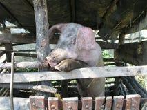 Porco no pigsty Imagem de Stock Royalty Free
