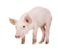 Porco novo (+-1 mês) Imagens de Stock