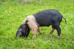 Porco novo em uma grama verde Fotografia de Stock Royalty Free