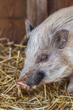 Porco pequeno com cabelo cinzento que aprecia seu celeiro com maca da palha Fotografia de Stock Royalty Free