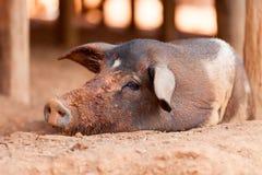 Porco preto Fotografia de Stock