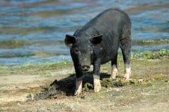 Porco preto Foto de Stock