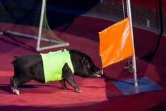 Porco preto bonito na frente do mastro de bandeira na arena do circo Imagem de Stock Royalty Free