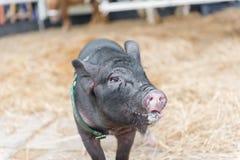 Porco preto com cuspe que anda em direção à câmera Foto de Stock Royalty Free