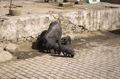 Porco preto com os bebês na rua imagem de stock royalty free