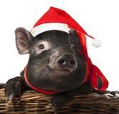porco preto com um tampão vermelho de Santa Imagem de Stock Royalty Free