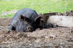 Porco preto da Guiné do sono Fotografia de Stock Royalty Free