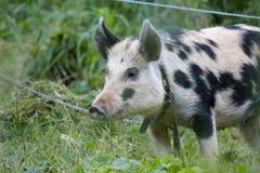 Porco preto e branco Imagem de Stock