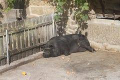 Porco preto grande do sono fotografia de stock