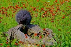 Porco- que alimenta em uma flor do Hawkweed alaranjado Foto de Stock Royalty Free