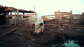 Porco que anda no pasto na exploração agrícola animal Porco que olha a câmera na exploração agrícola rural video estoque