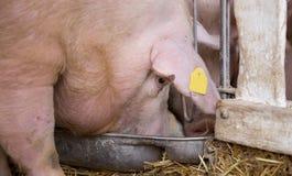 Porco que come do alimentador do porco Fotografia de Stock Royalty Free