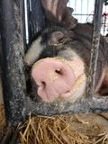 Porco que dorme em uma feira de condado, Pensilvânia, EUA Imagem de Stock Royalty Free