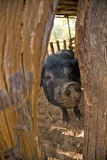 Porco selvagem Fotografia de Stock