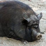 Porco selvagem Fotos de Stock Royalty Free