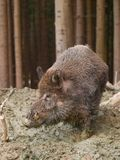 Porco selvagem de Euroasian - scrofa do scrofa do Sus - na floresta do outono Imagens de Stock Royalty Free