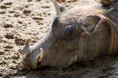 Porco selvagem do javali africano, vidas em África, fim do animal selvagem acima Fotografia de Stock