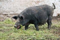 Porco selvagem fêmea Foto de Stock