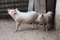Porco sujo. Fotografia de Stock