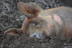 Porco sujo Fotografia de Stock