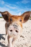 Porco sujo do bebê do nariz na praia foto de stock