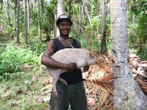 Porco travado na plantação do coco Fotografia de Stock Royalty Free