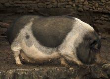 Porco vietnamiano Imagem de Stock Royalty Free
