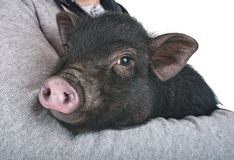 Porco vietnamiano no estúdio fotografia de stock royalty free
