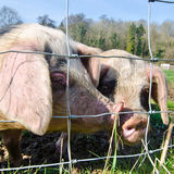 Porcos Imagens de Stock