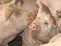 porcos Fotografia de Stock Royalty Free