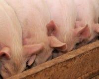 Porcos Fotos de Stock