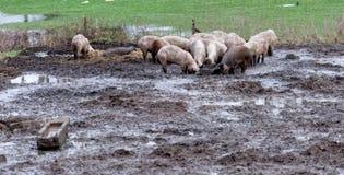 Porcos afortunados em uma exploração agrícola orgânica na lama, no corredor livre e sem um estável estreito, organicamente valios fotografia de stock royalty free
