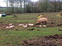 Porcos ao ar livre imagem de stock