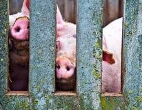 Porcos através da cerca Fotografia de Stock Royalty Free