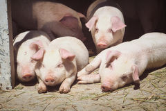 Porcos bonitos Foto de Stock