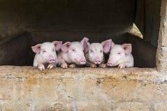 Porcos cor-de-rosa bonitos que estão em seguido fotografia de stock