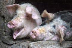 Porcos cor-de-rosa engraçados na tenda fotografia de stock
