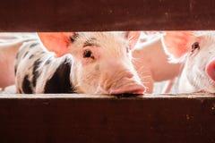 Porcos curiosos Fotografia de Stock