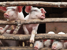 Porcos curiosos recém-nascidos em um estábulo Foto de Stock