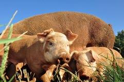 Porcos da exploração agrícola Fotos de Stock Royalty Free