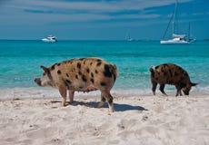 Porcos da ilha Foto de Stock Royalty Free