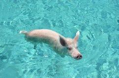 Porcos da natação de Cays de Exuma, Bahamas imagem de stock royalty free