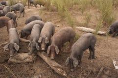Porcos da raça ibérica, Espanha, negra de Pata, Jabugo fotos de stock