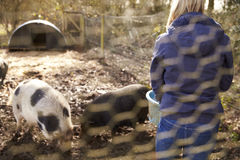 Porcos de alimentação da mulher disparados através da cerca de fio Fotografia de Stock