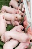 Porcos de alimentação do bebê do porco de Momma Imagens de Stock Royalty Free